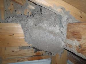 天井裏の白蟻の分巣