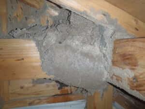 天井裏に分巣