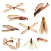 茶色い羽アリ