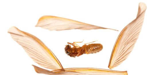 羽を落とす羽アリ